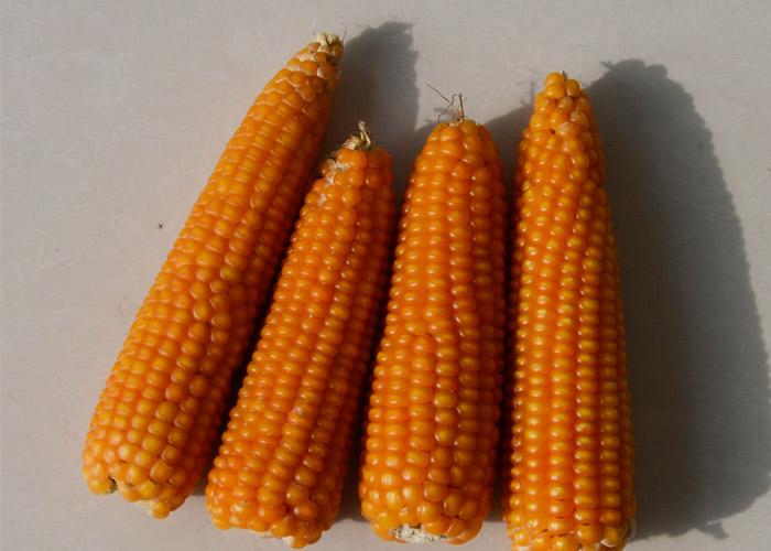 自留种玉米