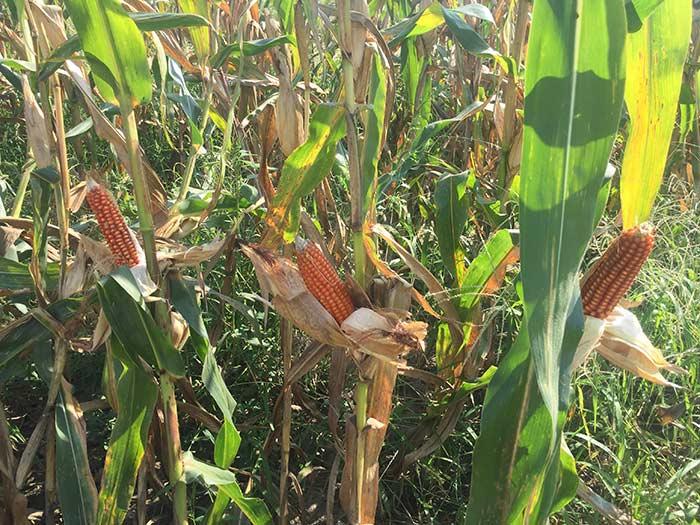 灯笼红玉米种植基地丰收
