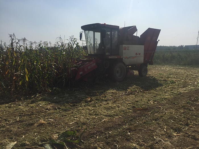 灯笼红玉米丰收收割中