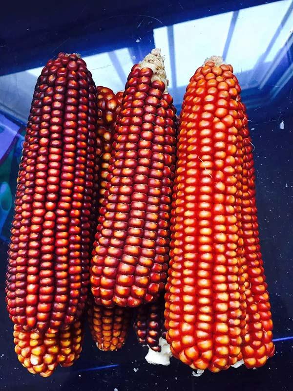 灯笼红玉米籽粒饱满