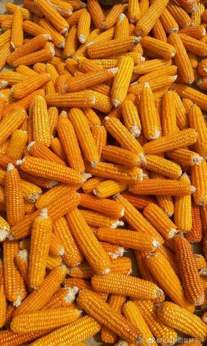灯笼红玉米