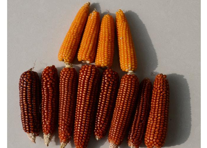 非转基因玉米种植